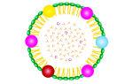 Что такое хиломикроны?