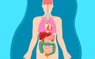 Какой орган отвечает за выработку холестерина в организме?