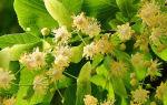 Цветки липы от высокого холестерина. Как правильно принимать?