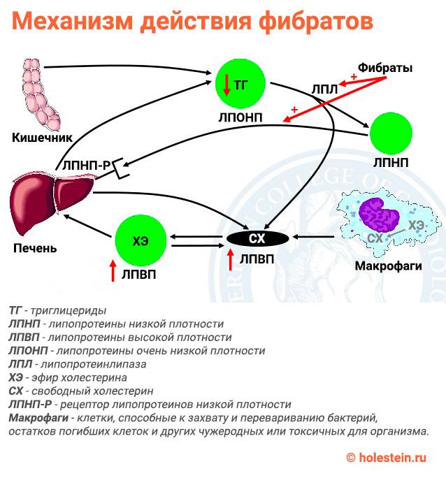 Механизм действия фибратов