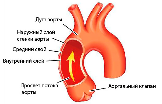 С чего состоит аорта?