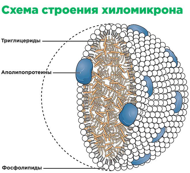 Схема строения хиломикрона
