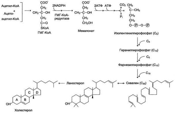 Образование молекулы холестерола