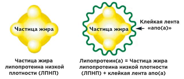 ЛПНП и липопротеин(а)