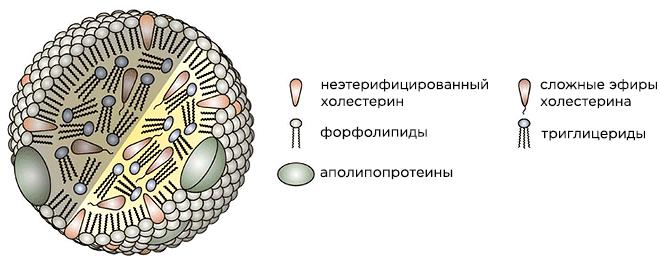 Строение липопротеина